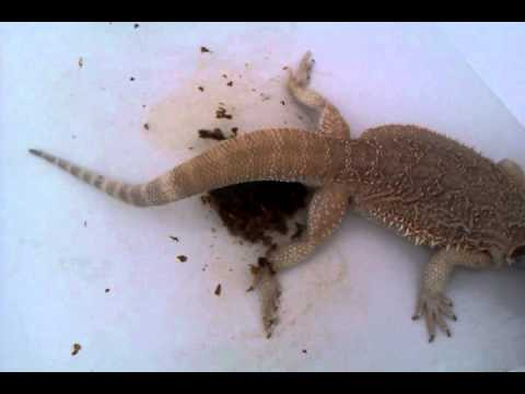 Harvey bearded dragon relief after constipation