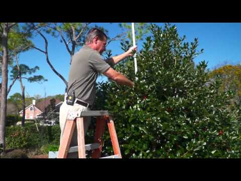 Pruning Stevens Holly Trees In the Yard with Gary Alan