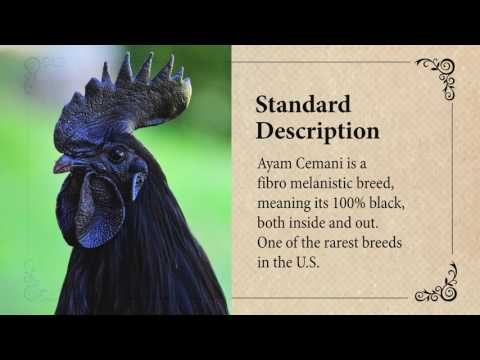 Ayam Cemani Chicken: March Breed of the Month