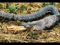 This Snake Ate My Chicken Alive!