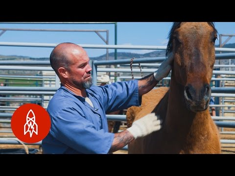 Training Wild Horses With Convict Cowboys