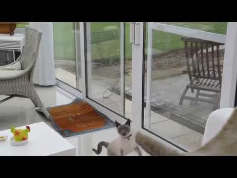 Angry Siamese Cat