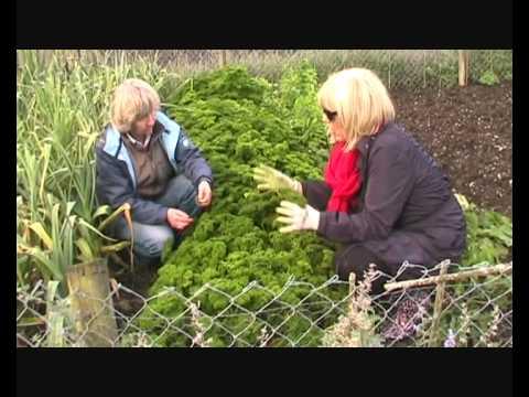 Parsley curly leaf introduction