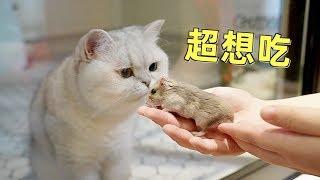 Download 小仓鼠在多猫家庭讨生活,笼外的猫天天想吃自己,是什么体验 Video
