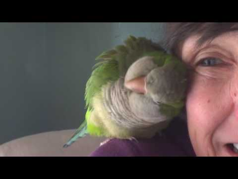 17 Year Old Quaker Parrot Talking (Волнистых попугаев)