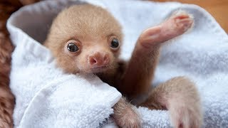 Most Funny and Cute Baby Sloth Videos (2017)