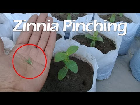 How to get more blooms in zinnia by pinching