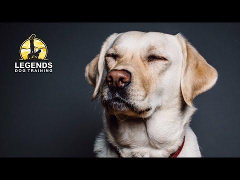 Labrador Retriever: Impulsivity, Pulling on Leash