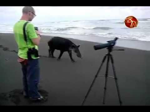 Turistas captan a danta en playa del Parque Nacional Corcovado