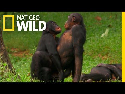 Xxx Mp4 Bonobo Love Wild Wives Of Africa 3gp Sex