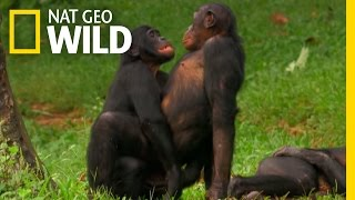 Bonobo Love | Wild Wives of Africa