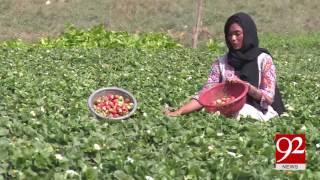 Seasonal fruit strawberry harvesting in Multan 28-02-2017 - 92NewsHDPlus