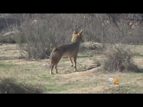 Woman's Electric Fence To Keep Coyotes Out Must Come Down