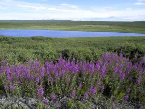 Arctic Tundra Biome Project
