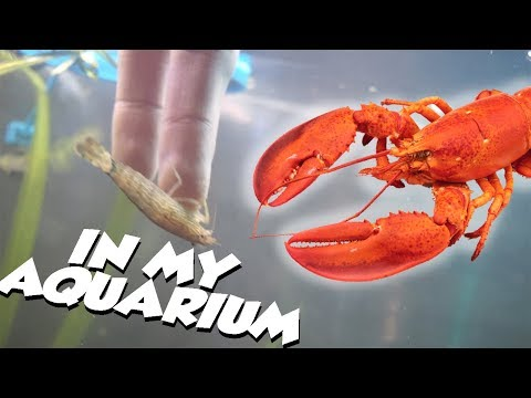 Getting A LOBSTER For MY aquarium!!