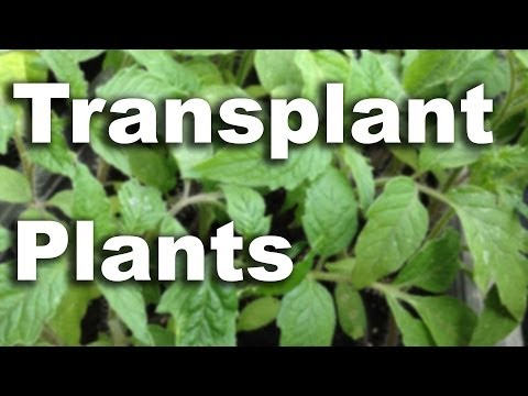 Transplant Raspberry Bushes - GardenFork #23