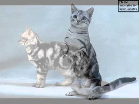 American Shorthair Black And White | Set Of Cat Picture Collection