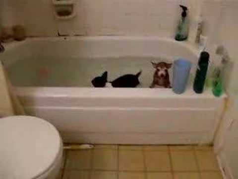Startled dog poops itself after falling in bathtub