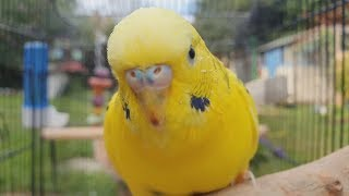 Happy summer budgies songs for your budgies to sing along