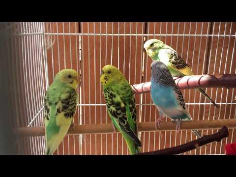 Parakeet/Budgie Breeding Update 2017