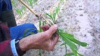 Garden Pests Mole Crickets Green Beans And Thinning Corn