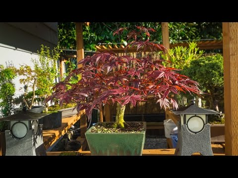 Bloodgood Maple Prune
