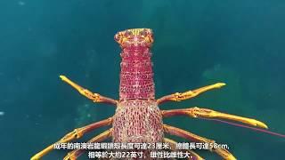 認識十種不同的龍蝦