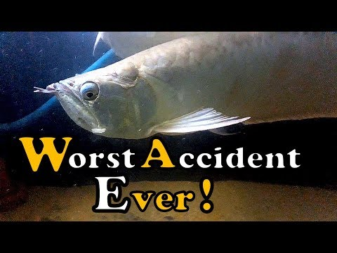 Silver Arowana : Had A Terrible Accident - A lesson for all