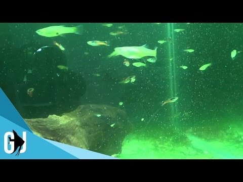 #181: Feeding Live Baby Brine Shrimp to Poecilia wingei (Endler's Livebearer) - Fan Friday