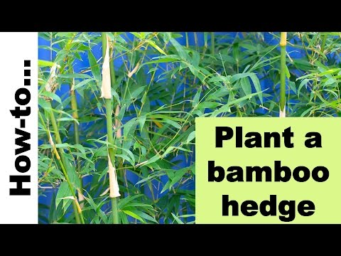 How to plant a bamboo hedge or screen