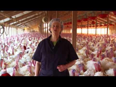 Turkey Farm & Processing Plant Tour: Temple Grandin