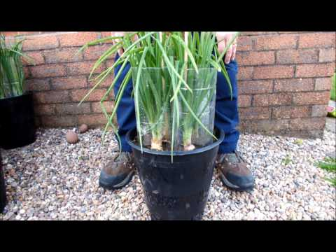 HGV How to grow Green Onions / Shallots in Buckets or Pots,  start to finish.