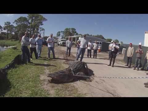 Large South Florida Gator