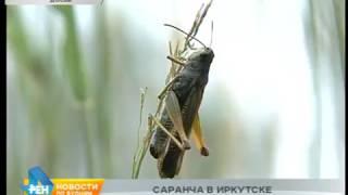 Саранча атаковала Иркутск