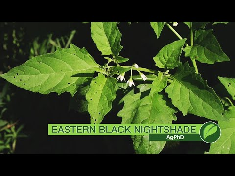 Weed of the Week #1049 Eastern Black Nightshade (Air Date 5-13-18)