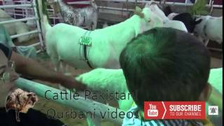 Exclusive footage of Goat Dadi House || Dadi House 2017  || Eid Qurban
