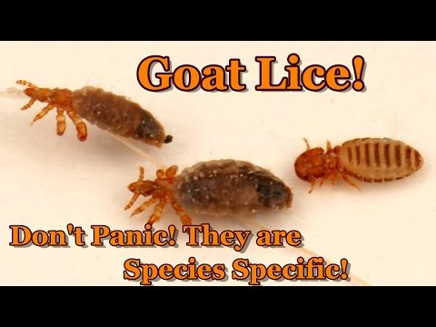 Goat Lice & Diatomaceous Earth