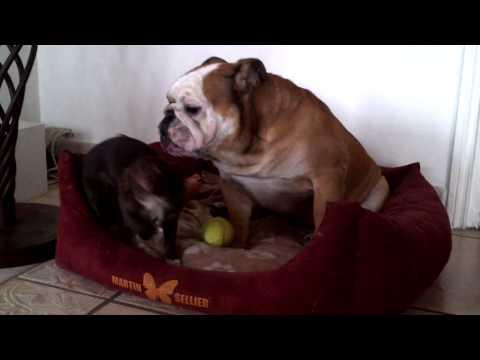 buldog vs chihuahua