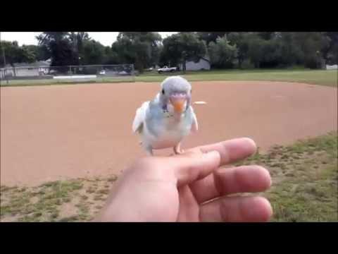 baby parakeet (budgie) free flying
