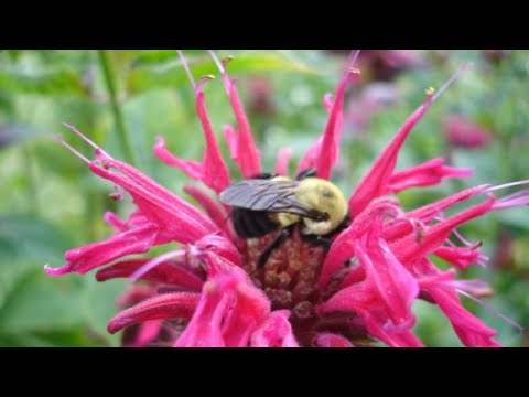 Herbs for Hens™: Bee Balm
