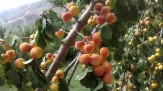 Download Fruits of Hunza & Giligit-Baltistan Video