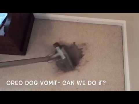 Steam Cleaning Oreo Dog Vomit | A1 Carpet Care in Kingsland GA