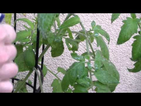 How To Kill Tomato Worms Naturally