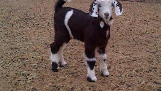 #x202b;والله انك صخل ههههه طرايف بدويه Young Goats#x202c;lrm;