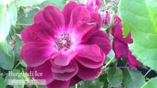 Роза бургунди айс Burgundi Ice