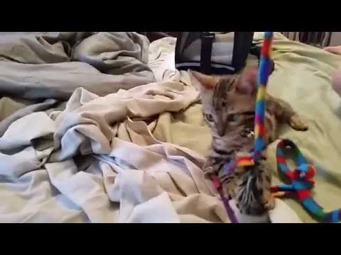 Baby Bengal Kitten - 10 Weeks Old - 2nd Day - Finally Acting Like a Cat! Pt. 2