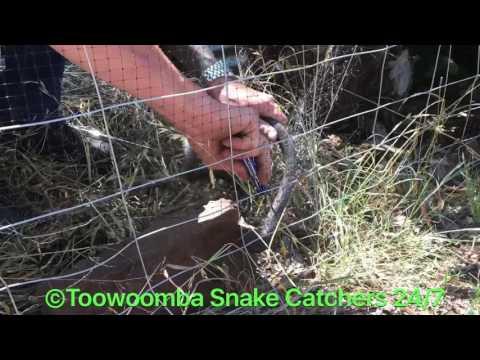 Brown snake caught in bird netting