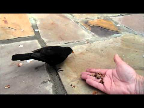 Blackbird hand feeding