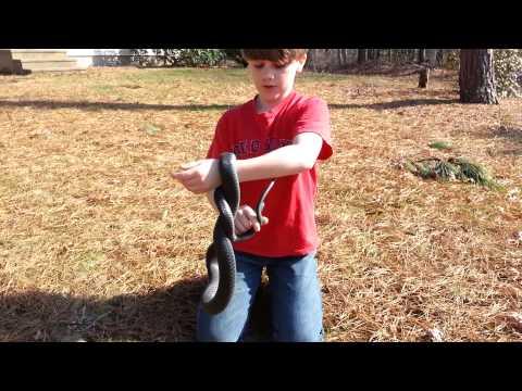 How to Catch a Black Racer (Non-Venomous) Snake