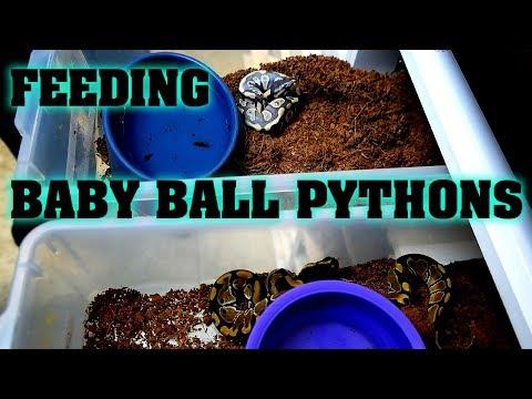 Warning: Feeding Baby Ball Pythons